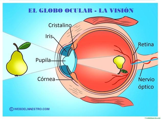 La vista- el ojo y sus partes -Cartel