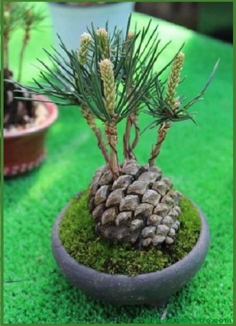 pino bonsai-2