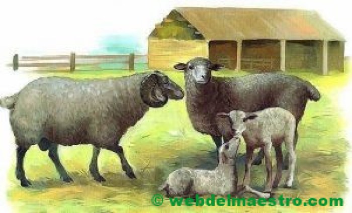 Oveja y carnero