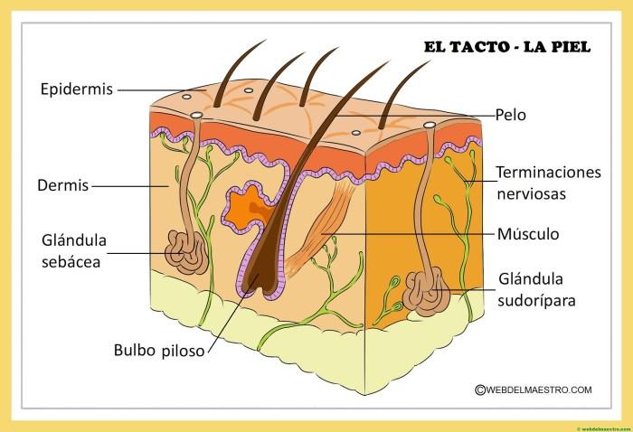 El tacto y sus partes-la piel