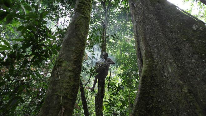 Cueillette sauvage de miel au Congo. © Getty + Randy Olson