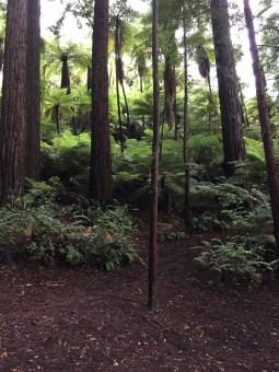 ▲Redwoods
