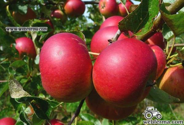 Яблоня Услада описание и подробные характеристики