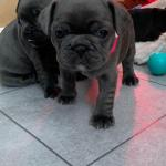 French Bulldog Puppies In 9000 Ghent For 800 00 For Sale Shpock