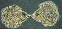 eencellige dieren voortplanting