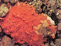 Bloedspons sponsen tot kwallen
