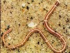 snoerworm gerinde worm