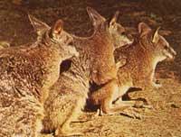 Wilkeelwallabie-zoogdier