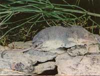 millerwaterspitsmuis