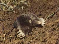 mol-zoogdier