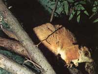 wolhaardbuidelrat-zoogdier