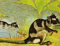 yapok-zoogdier