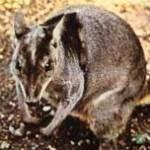 pademelon-zoogdier