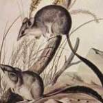 penseelstaartbuidelmuis-zoogdier-leefgebied