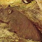 wombat-zoogdier