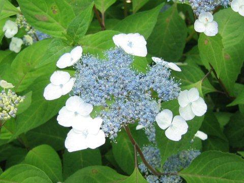 Hydrangea serrata var. thunbergii
