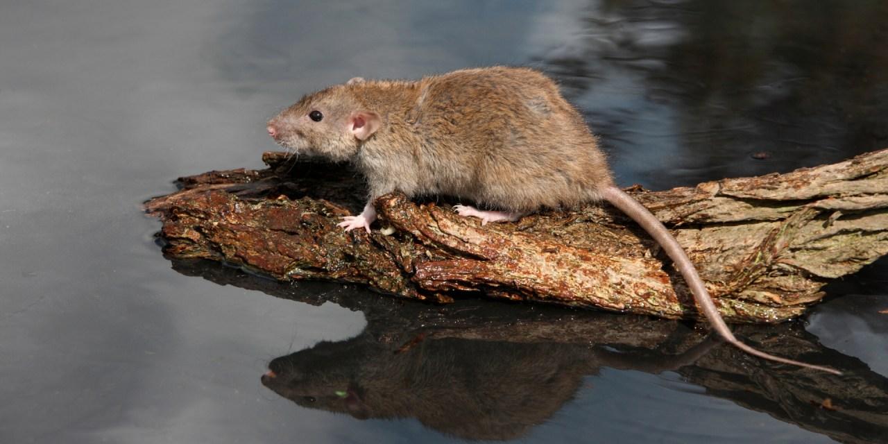 Bestrijden bruine ratten geen taak van waterschap