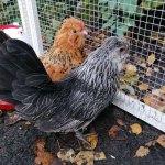 Zwart/grijze kip zoek, omgeving Russchersland