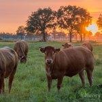 Cows in Sunset (foto van de dag)