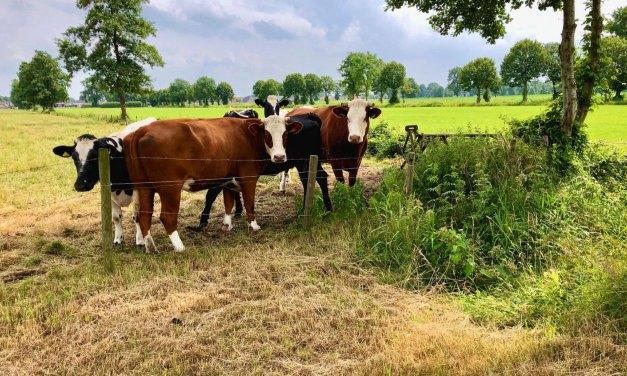Koeien koesteren zich in de zon aan de Schuthekkeweg