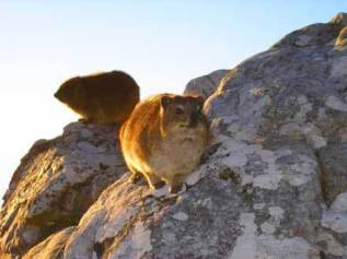Dassie on Table mountain
