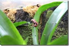 Tropische kikkers;