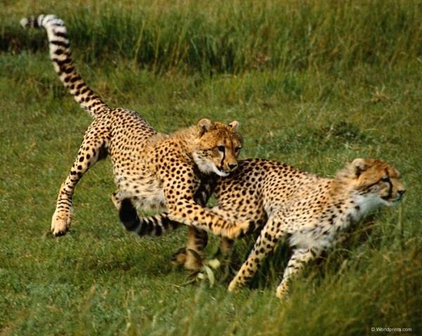 Гепард - животное красной книги: описание, фото, картинки ...