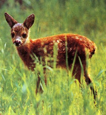 Красивое животное косуля: описание, фото, видео про ...