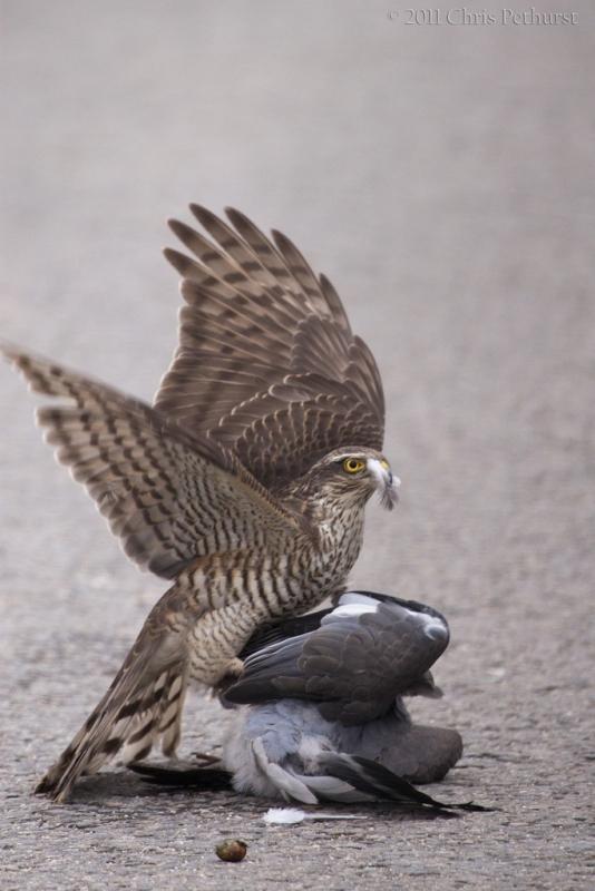 Хищная птица ястреб: описание с фото и картинками, видео ...