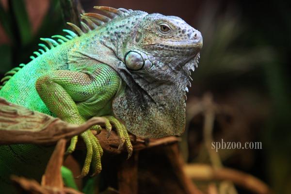 Ящерица – зеленая игуана: описание с фото и видео, уход и ...