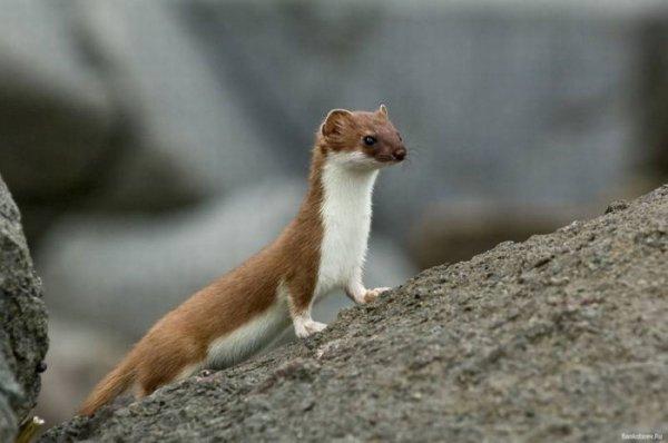 Животное тундры – горностай: описание с фото и картинками ...