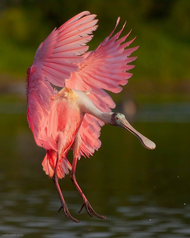 https://i1.wp.com/webneel.com/daily/sites/default/files/images/daily/08-2013/1-spoonbill-bird-photography-by-miguel-leyva.preview.jpg