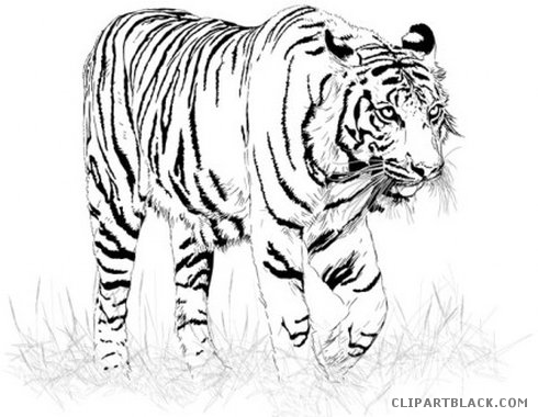 Black Clipart White Tiger Picture 104586 Black Clipart White Tiger