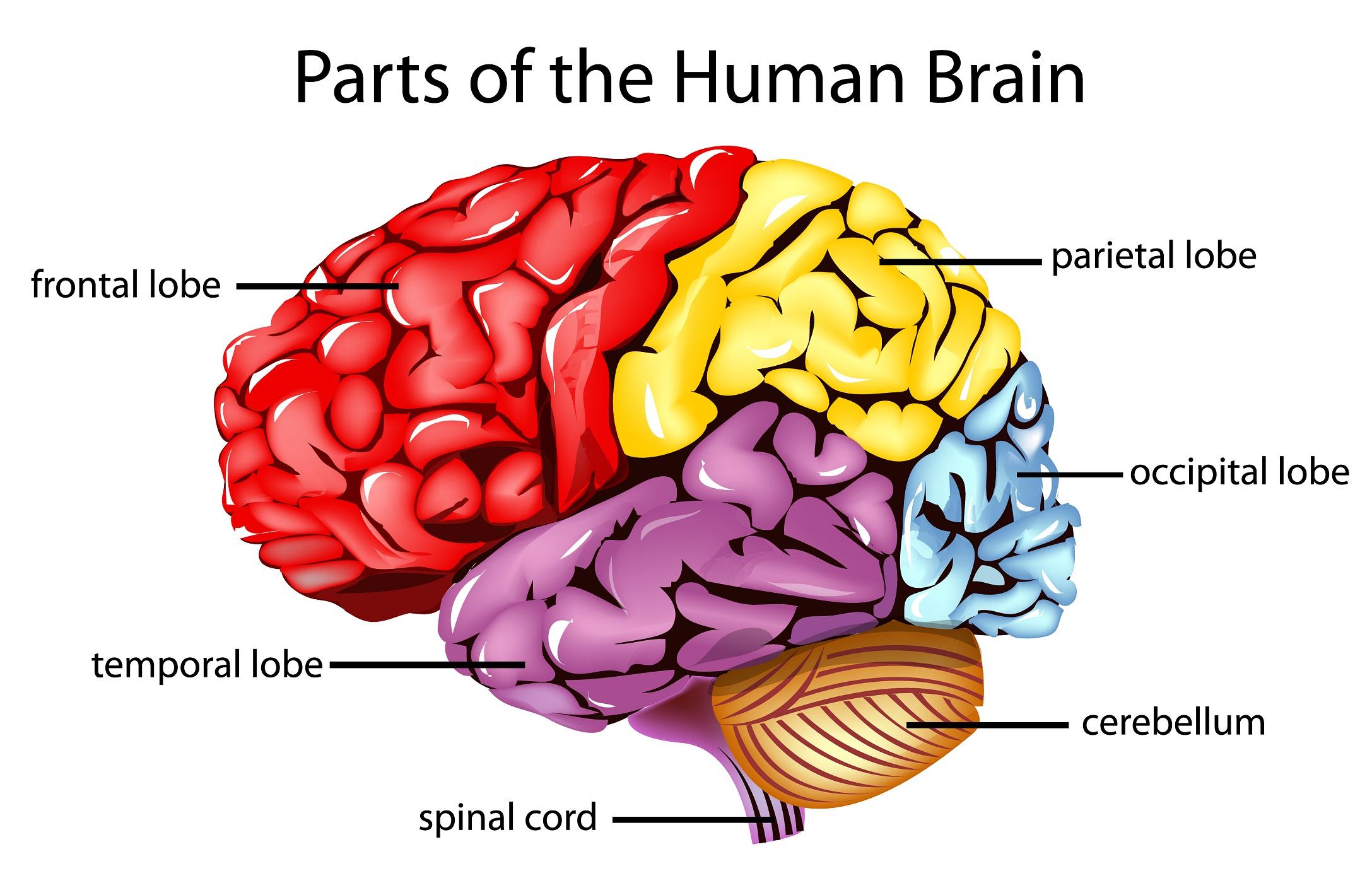 Brain Clipart Label Brain Label Transparent Free For