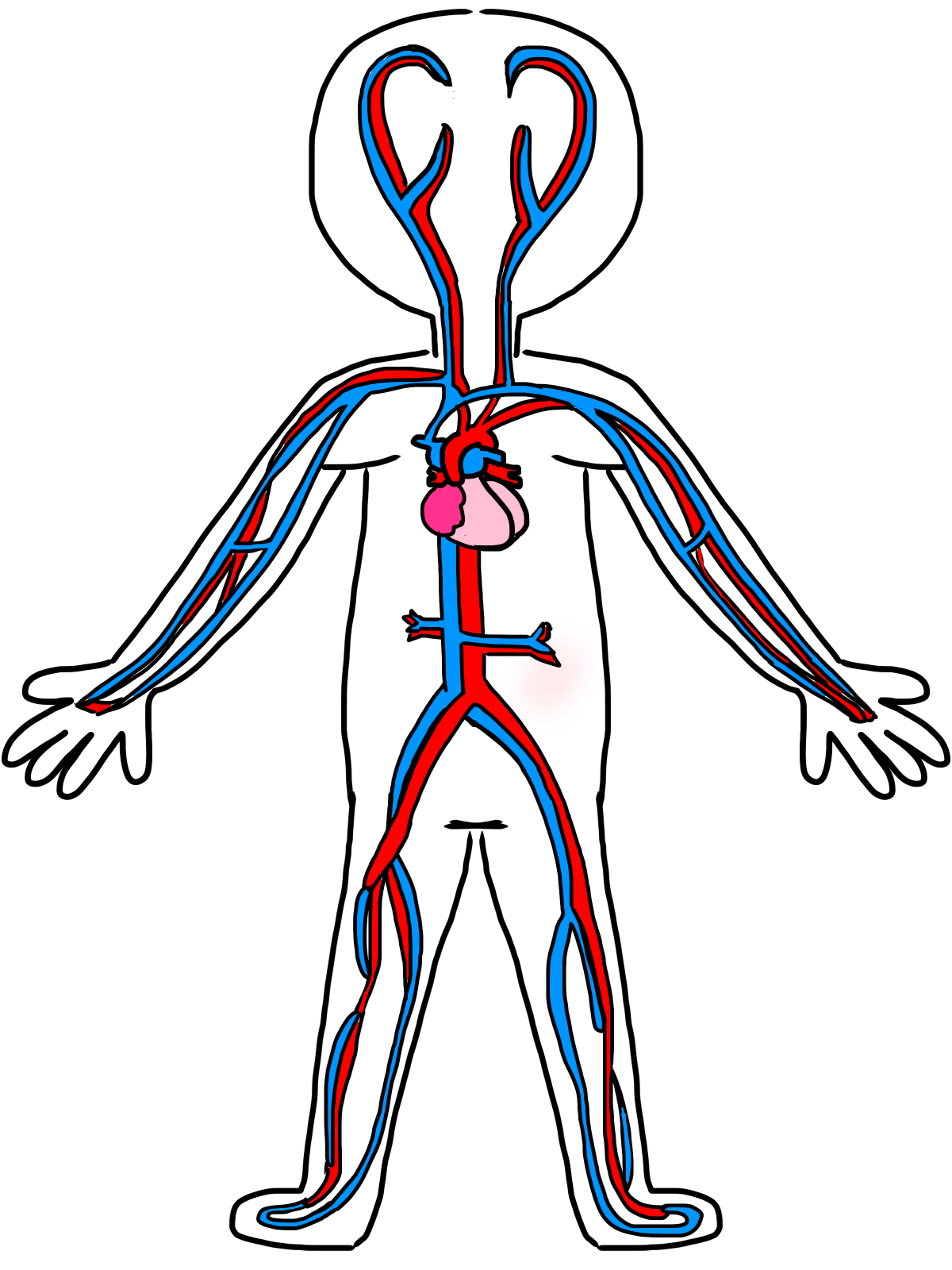 Lungs Clipart Unlabelled Lungs Unlabelled Transparent