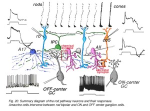 Circuitry for Rod Signals Through The Retina by Helga Kolb