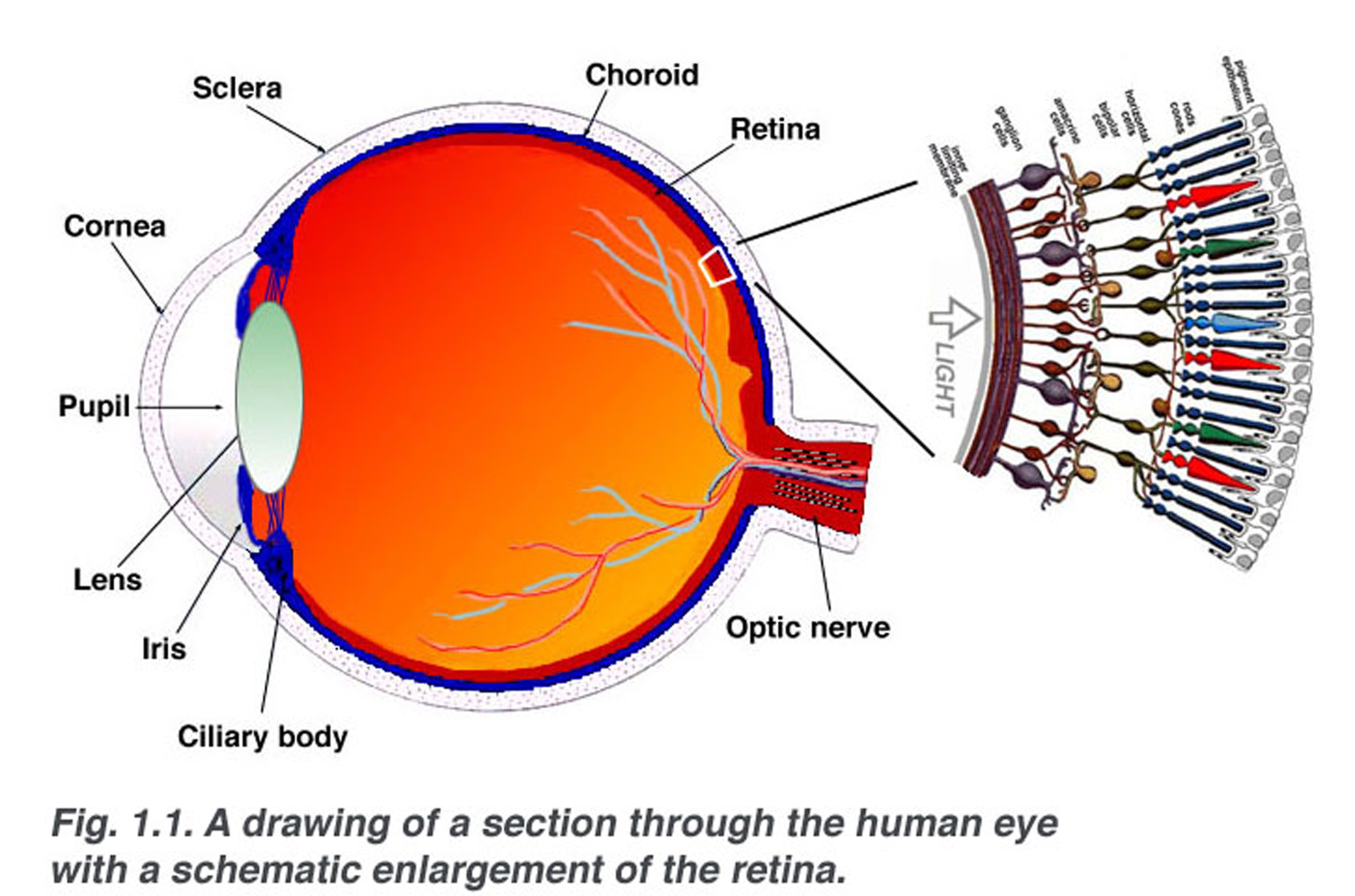 Rods Eye Parts Cones And