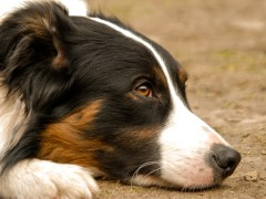 Border Collie Geheimen
