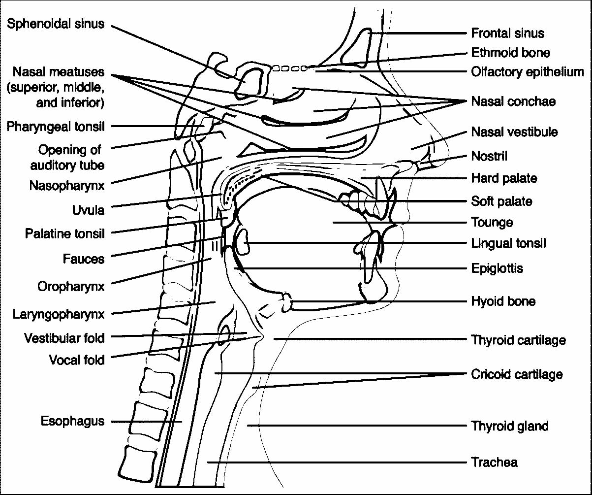 Head Anatomy And Physiology Coloring Page