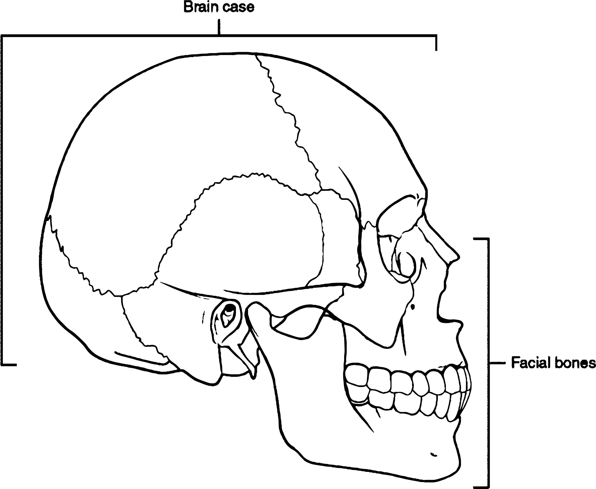 Parts Of Skull Picture Sketch Drawing Coloring Page