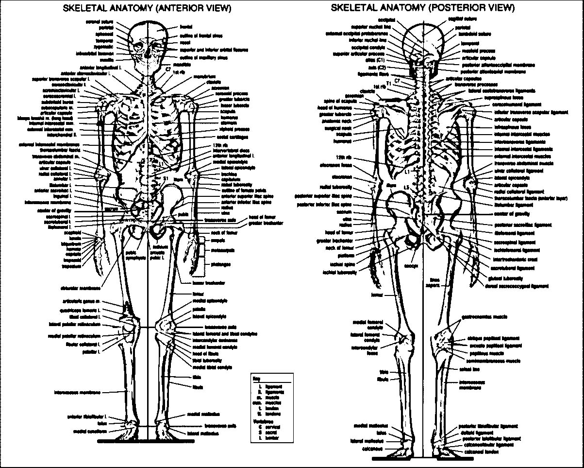 Anatomy And Physiology Articles Picture Sketch Drawing Coloring Page