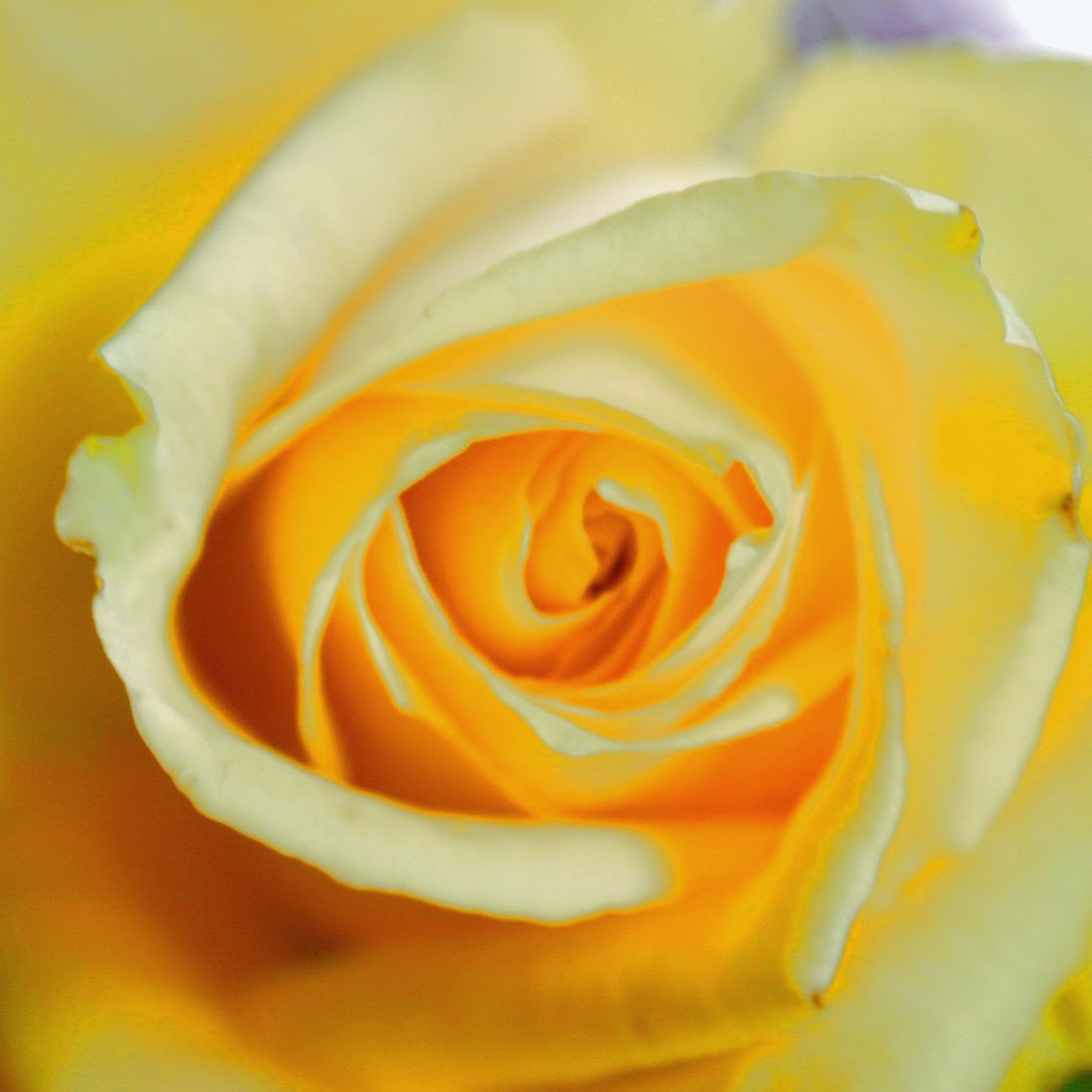 The Meaning Of Flowers Yellow Rose Friendship And Caring