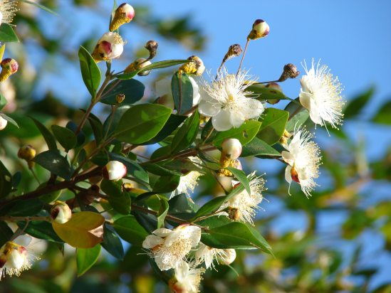 myrtle - a traditional flower in royal weddings in Britain