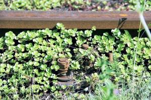Mit Sedum (Fetthenne) bewachsen sind die Gleise in der Osloer Straße. Foto: D. Hensel