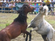 Two stallions in a horsefight during a city-wide thanksgiving festival