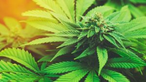 WEEDIN, tourette, cannabis