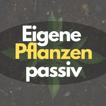 Geld durch den Verkauf eigener Cannabispflanzen passiv verdienen