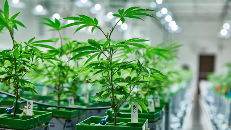 cannabis vegetation