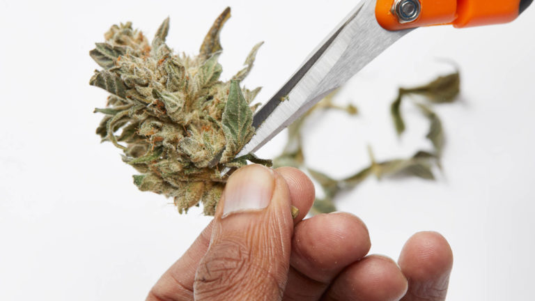 trimming cannabis bud