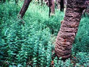 Cape broom seedlings